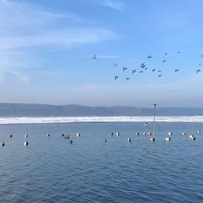 Flocks of canvasbacks, ice, open water