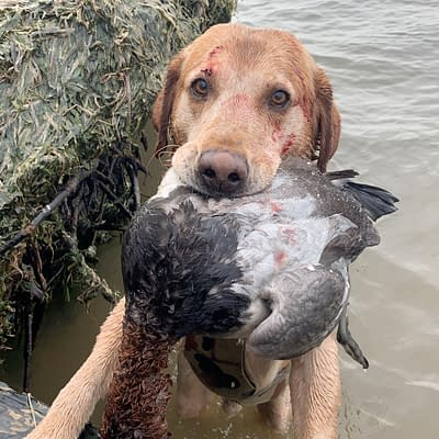 Duck dog, canvasback, red lab,
