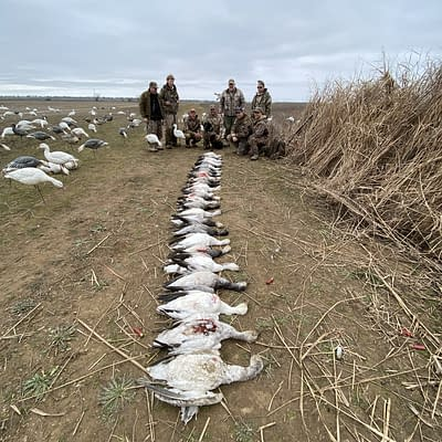 White line of geese, great hunt, snowgoose